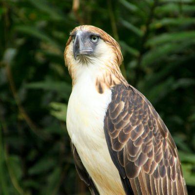 Philippine Eagle Mitogenome